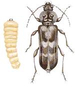 Boktor en Houtworm